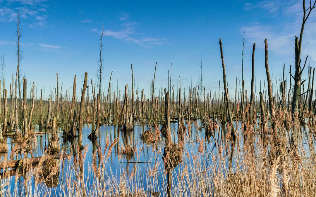 Toter Wald vor Usedom